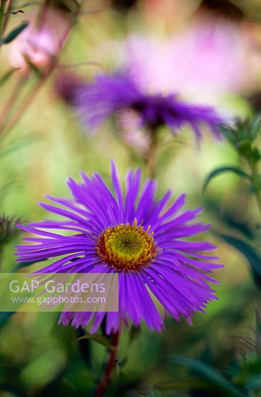Aster novae - angliae 'Mrs S T Wright' - close up of blue flower