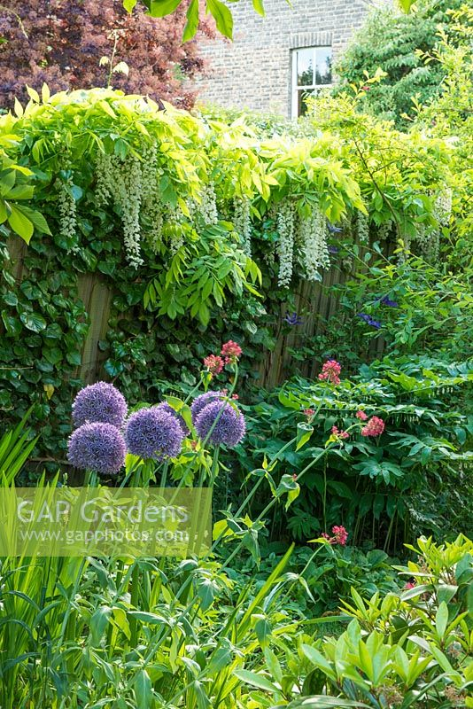 View of mixed border in town garden in spring with Allium 'Globemaster', Wisteria floribunda 'Alba', Centranthus ruber and polygonatum.