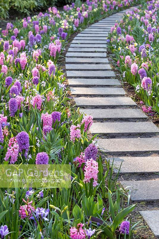 GAP Gardens - Graphic concrete pathway through borders of Hyacinth ...