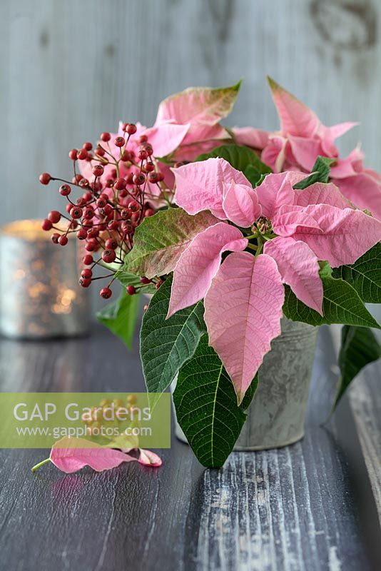 Pink Poinsettia - Euphorbia pulcherrima as cut flowers in a zinc pot