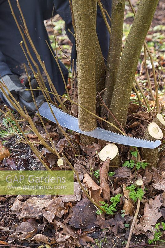 Coppicing a Hazel tree to near ground level