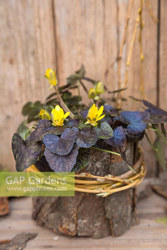 Ranunculus ficaria 'Brazen Hussy' planted in an organic container of Moss, wrapped in Willow and Bark
