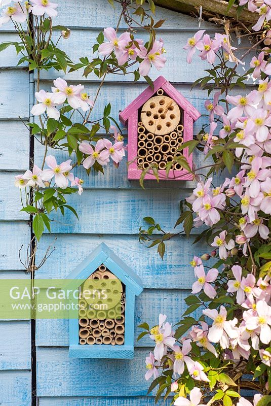Wildlife gardening - early summer garden with home made bug box placed on side of garden shed amongst flowering Clematis Montana.