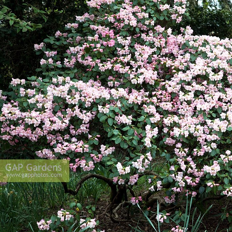 Gap Gardens Rhododendron Mission Bells A Woody Spring Flowering