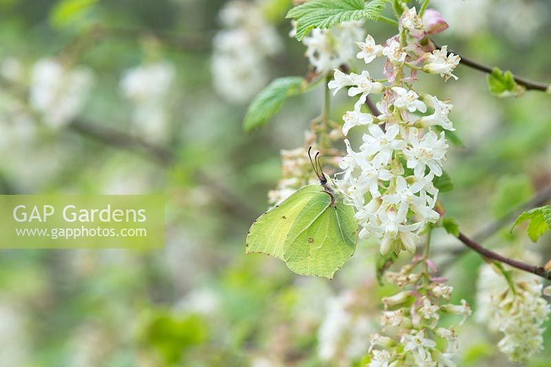 Gonepteryx rhamni - Common brimstone butterfly on ribes rubrum flowers- April - Oxfordshire