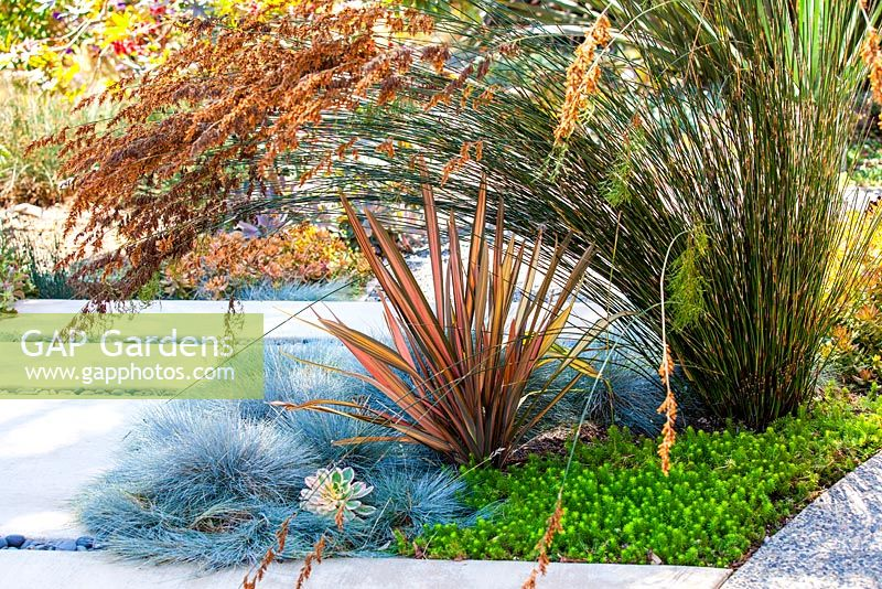 Portrait of Phormium Maori Sunrise planted with Festuca glauca and Sedum 'Angelina'.  Debora Carl's garden, Encinitas, California, USA. August.