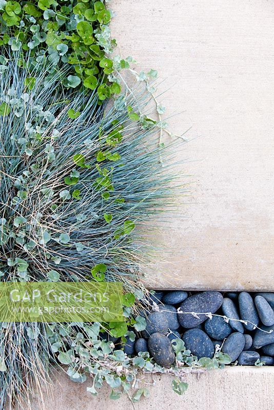 Carex glauca and Dymondia margaretae growing through the spaces between modern white concrete paving slabs. Debora Carl's garden, Encinitas, California, USA. August.