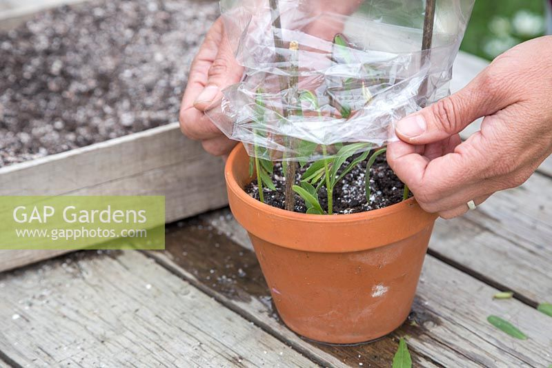 Cover the softwood cuttings with a polythene bag to retain heat and moisture, promoting root growth
