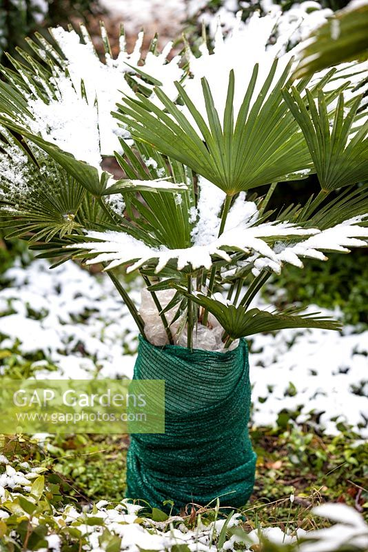 Trachycarpus wagernianus, Palm with winter protection.