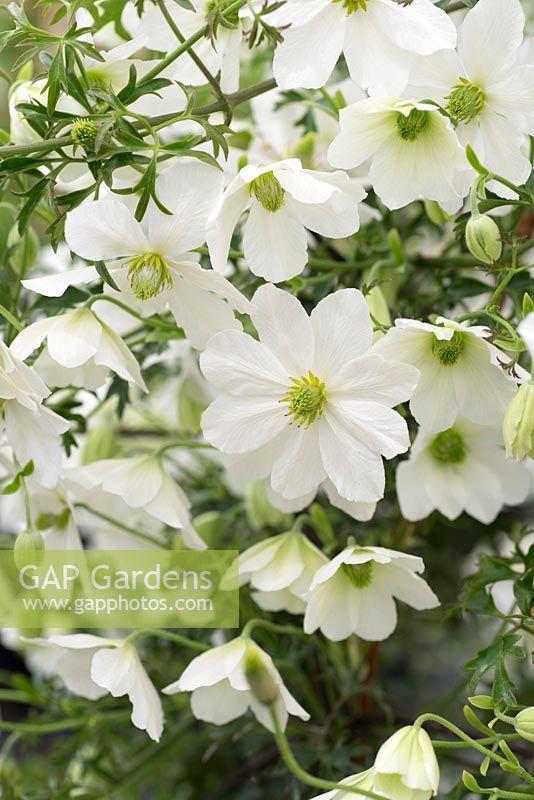 gap gardens clematis 39 early sensation 39 image no. Black Bedroom Furniture Sets. Home Design Ideas