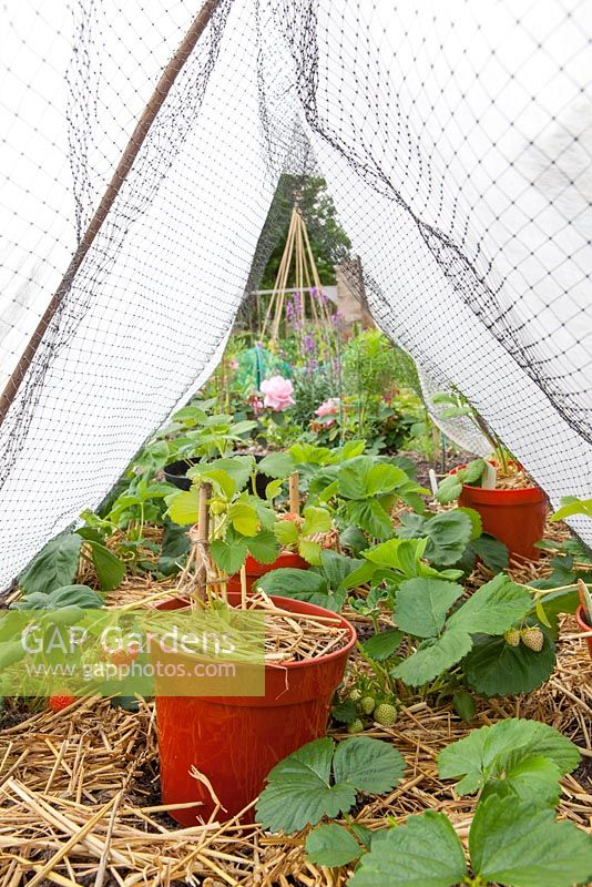 Strawberry 'Cambridge Favourite' protected from cold with horticultural fleece tunnel and straw mulch to suppress weeds
