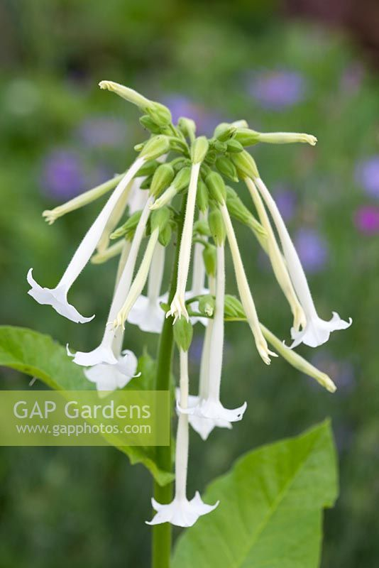 Nicotiana sylvestris AGM syn. Nicotiana sylvestris 'Only the Lonely'. Tobacco plant