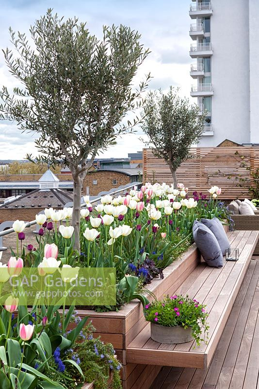 Raised integral bed and bench planted with tulips and olive trees on a roof terrace garden in London. April