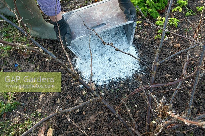 Adding wood ash from a cooled ashpan to a woody plant