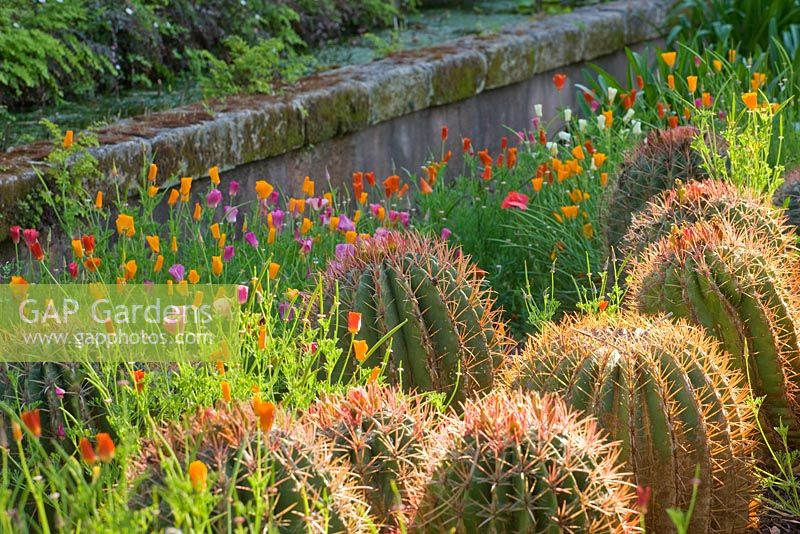 GAP Gardens - The arabic garden: barrel cactus, Echinocactus ...