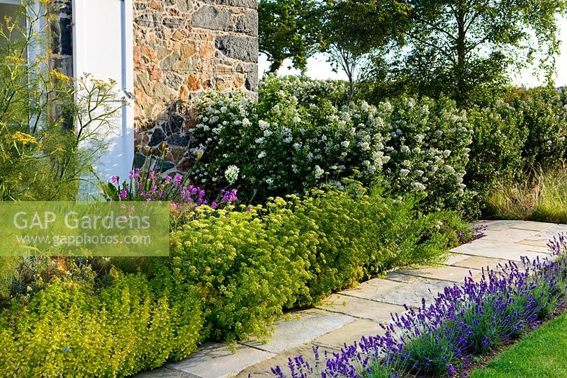 Path Beside House With Lavender And Fennel Hedge Of Escallonia Iveyi