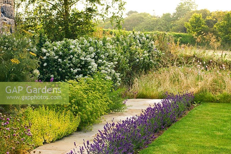 Pathway Next To House With Beside Lavender And Fennel A Hedge Of