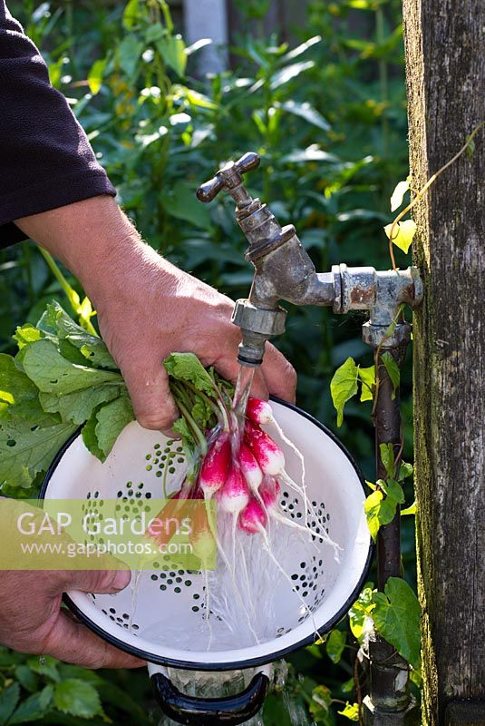 Radish 'French Breakfast 3' man washing roots at standpipe