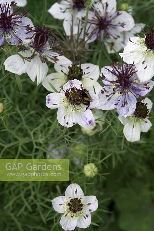 Nigella papillosa 'African Bride' - Love-in-a-mist with bee and other insects, August