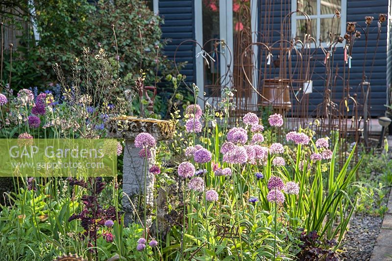 Alliums catch the evening sun in front of Debbie's garden studio.