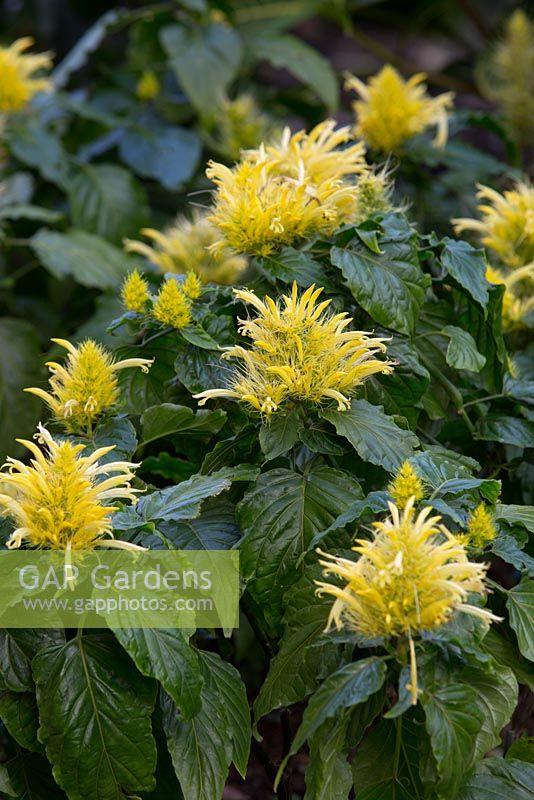 Gap Gardens Schaueria Flavicoma Golden Plume With Lemon Yellow