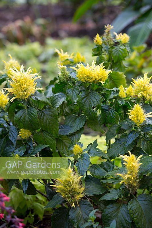 Gap gardens schaueria flavicoma golden plume with lemon yellow schaueria flavicoma golden plume with lemon yellow tubular flowers mightylinksfo