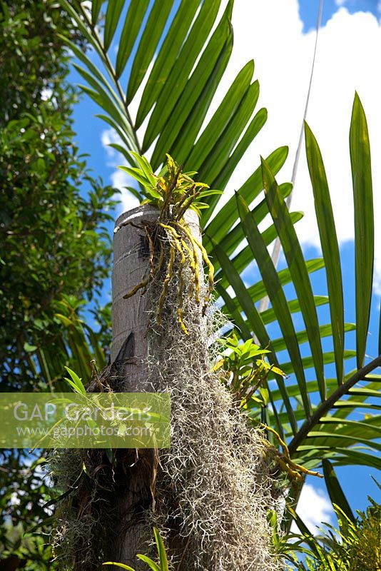 Gap gardens a dead palm tree trunk with epiphytic plants growing on it featuring dendrobium - Flowers that grow on tree trunks ...