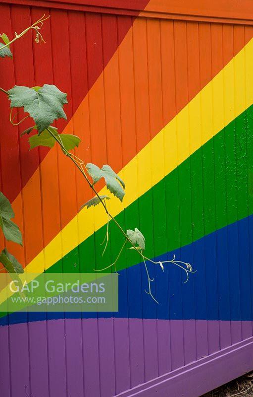GAP Gardens - Brightly coloured fence with Vitis \'Glenora\' - Image ...