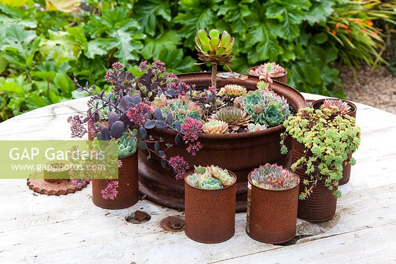 Collection of succulents including Sedum, Echeveria glauca, aeonium and sempervivums. They are housed in a series of rusted food cans, and displayed on a table made from a recycled cable drum.