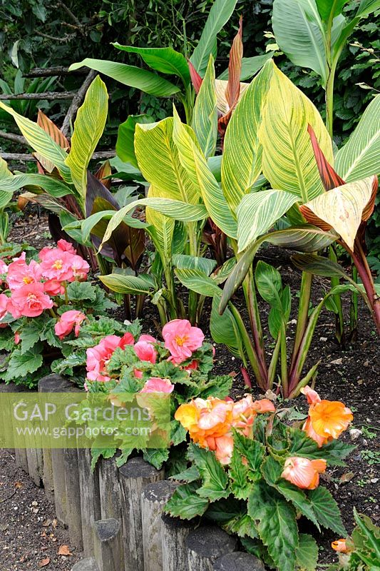 Begonias and canna lillies in raised border, Norfolk, England, July