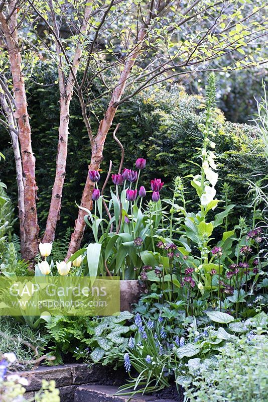 Betula nigra underplanted with Astrantia 'Hadpsen Blood', Muscari, Digitalis purpurea 'Alba' and pots of Tulipa, The Garden Bed - a partnership with Asda, RHS Chelsea Flower Show 2016, Designer: Stephen Welch CMLI and Alison Doxey MPFD
