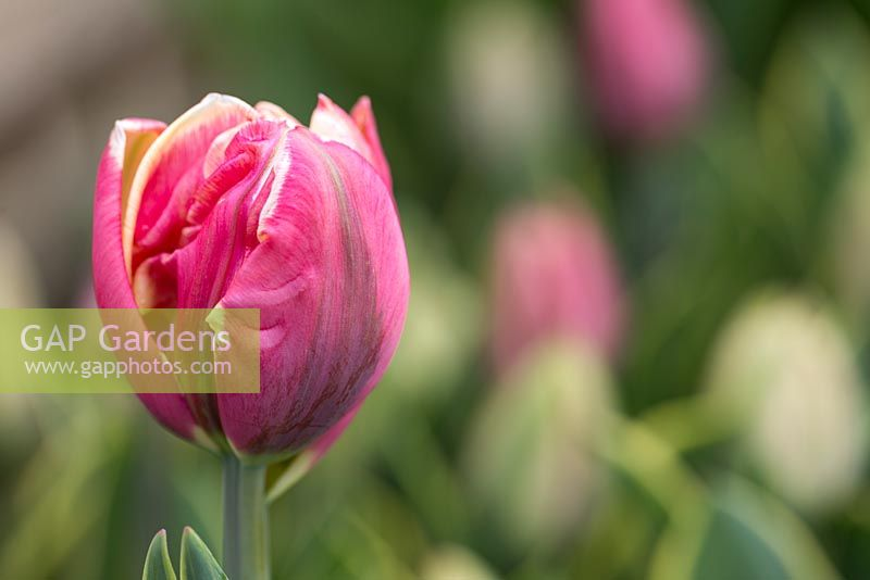 Tulipa 'Top Lips'