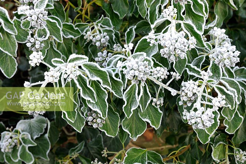 Hedera helix - Common Ivy, frosted in cold weather, Norfolk, UK, December