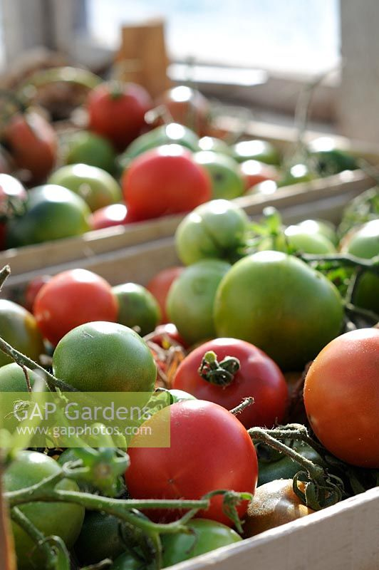 Last of the outdoor tomato crop being ripened on the greenhouse staging, Norfolk, UK, October