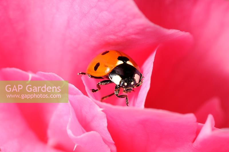 7 spot ladybird - Coccinella 7-punctata, hiding in camelia bloom, Norfolk, UK, April
