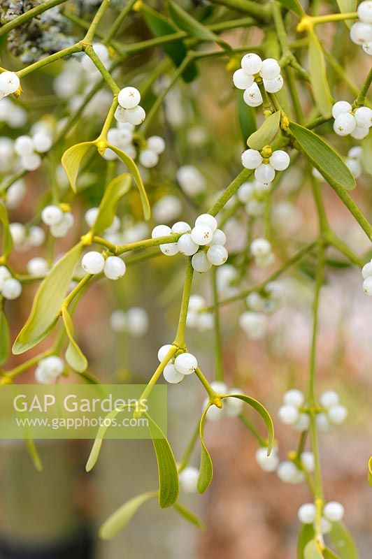 Viscum album - Garden Mistletoe, Norfolk, England, March