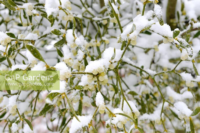 Viscum album - Mistletoe, with covering of snow, Norfolk, UK, December