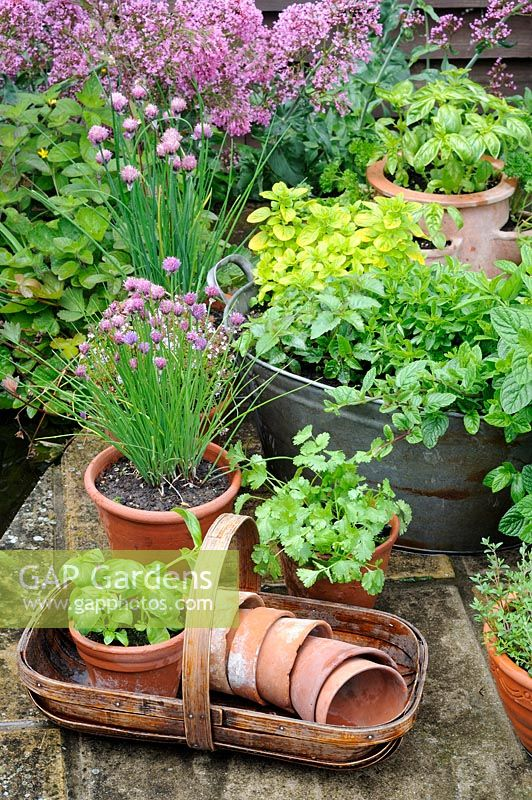 Pot grown herbs including mint, chives, basil, parsley, and thyme, pots arranged on patio with wooden trug and terracotta pots, patio pond in background, UK, June