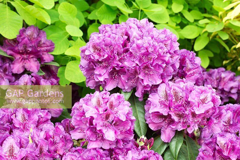 Rhododendron Monsieur Marcel Menard Rhs Chelsea Flower Show 2016