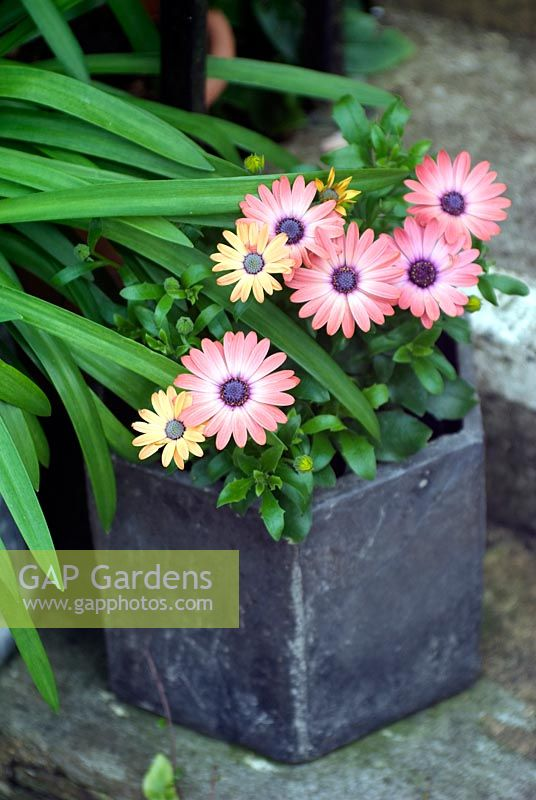 Osteospermum Serenity 'Rose Magic' in pot on steps