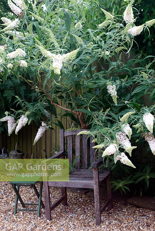 Buddleia davidii 'White Profusion' with wooden garden chair