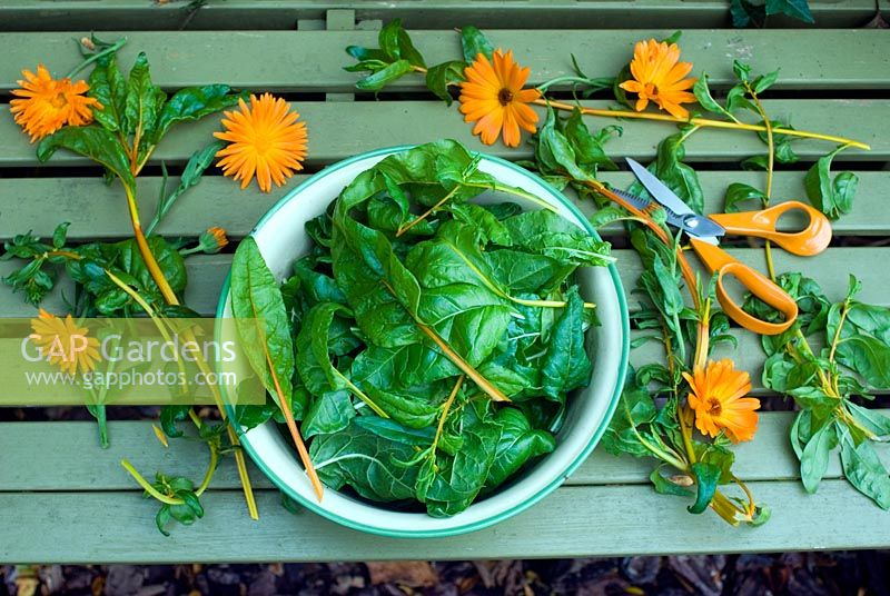 Picked chard in enamel bowl with marigolds