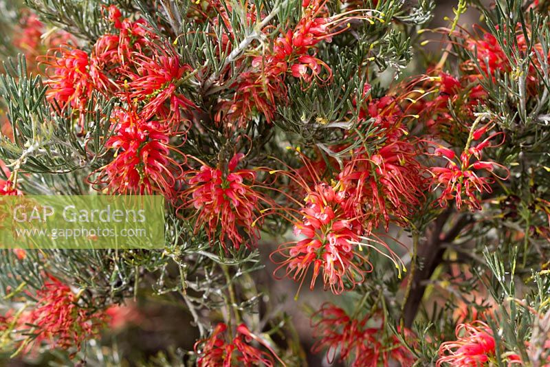 Grevillea preissii subspecies glabrilimba, Spider Net Grevillea, low growing shrub with orange red flowers.