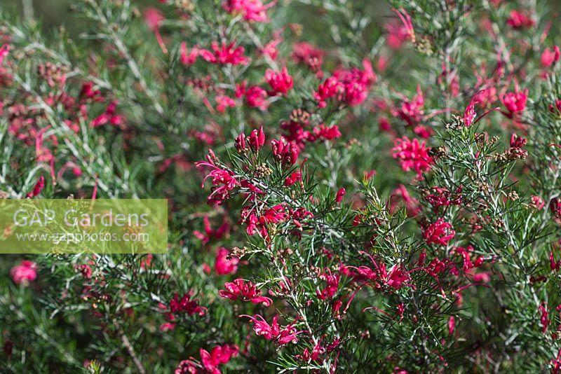 Gap Gardens Grevillea Rosmarinifolia Scarlet Sprite Small Shrub