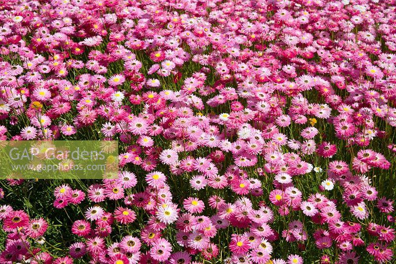 Rhodanthe Chlorocephala Ssp Rosea Rosy Sunray Daisy Like Flowers Ranging In Colours From
