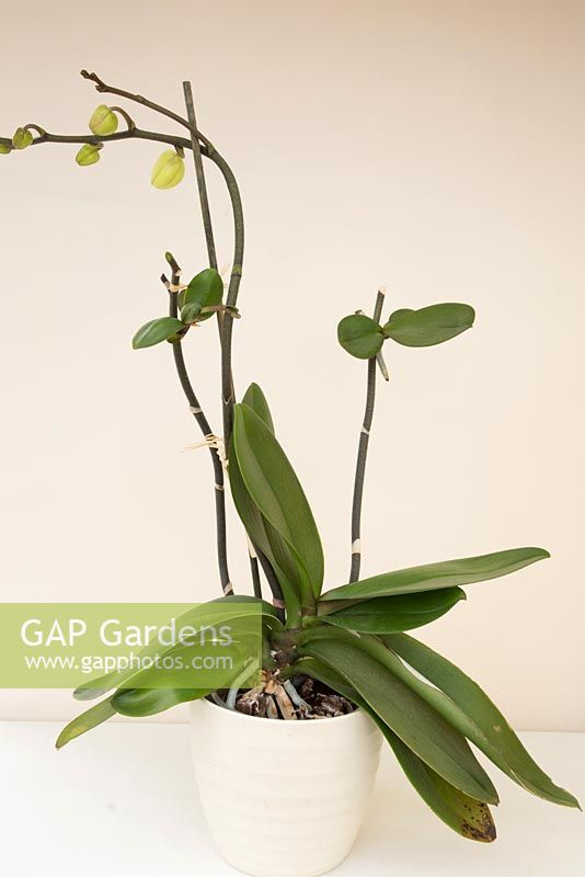 Orchid propagation - new plant develops from flowering stem. Keiki