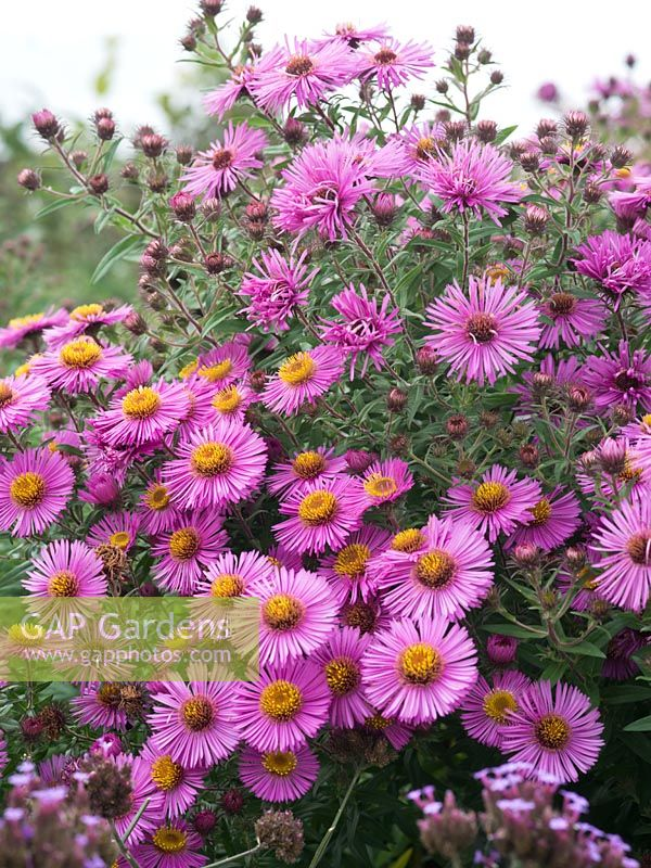 Aster novae-angliae 'Roter Stern'