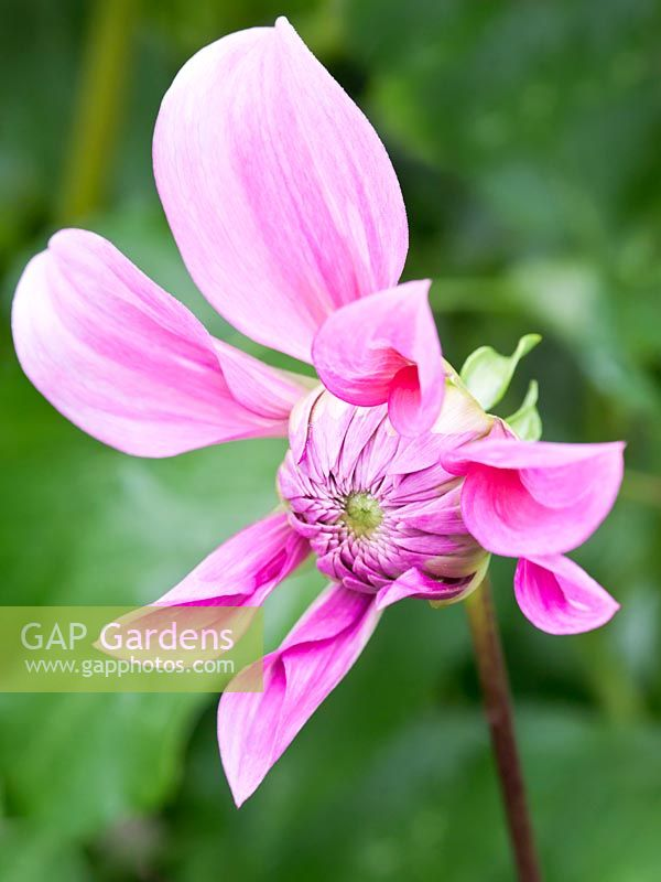 Dahlia 'Vassio Meggos' - flower opening from bud