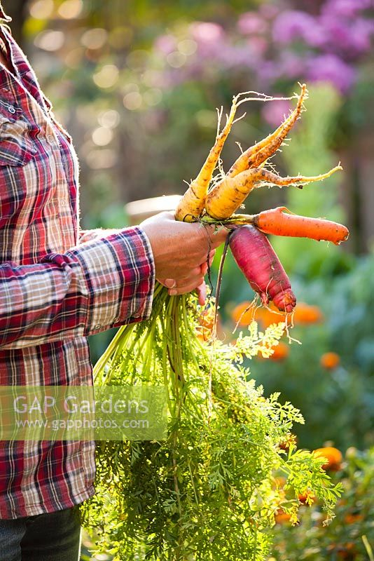 Woman with bunch of carrots..