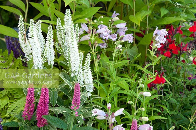 Veronica 'First Love' Salvia greggii 'Radio Red' Penstemon 'Mother of Pearl' and Veronica longifolia 'Charlotte'